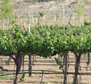 vineyard_for_sale